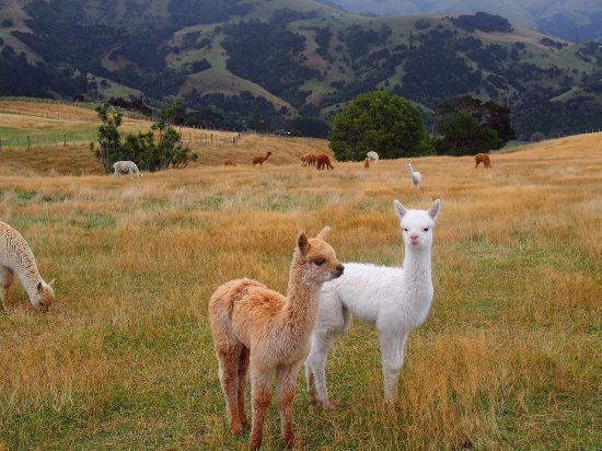 Alpaca picture of shamarra alpaca farm tours akaroa for Alpaca view farm cuisine bangkok