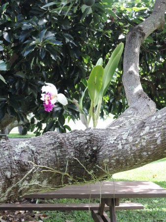 Kealakekua, HI: orchid growing from a tree branch