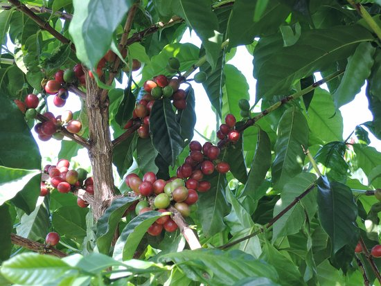 Kealakekua, HI: coffee berries