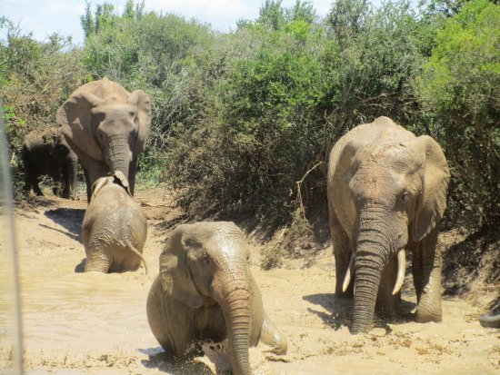 Colchester, Sør-Afrika: A natural pool after the rain gave much pleasure to these ellies.