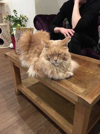 Maine Coon just Chilling  - Picture of Kitty Cafe