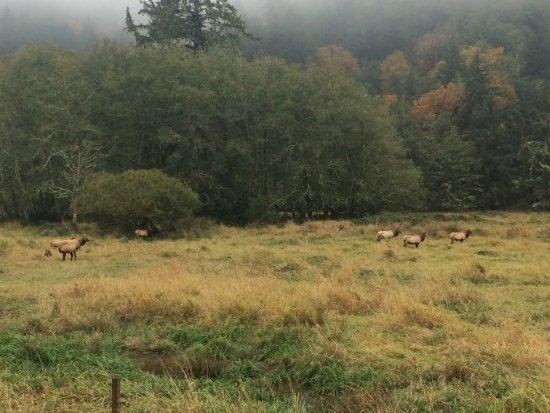 Reedsport, OR: So many bull elk