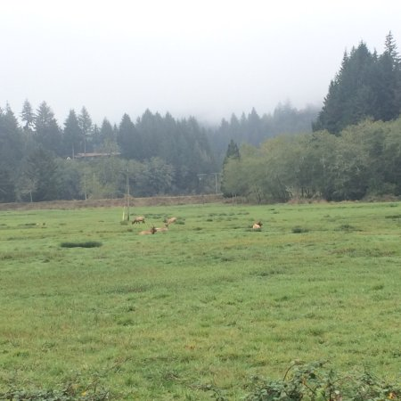 Reedsport, OR: Even in ranchers fields outside the viewing area there may be elk.