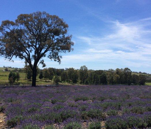Herbicos Lavender Farm