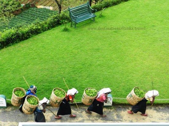 Destination Sri Lanka: Tea Pluckers