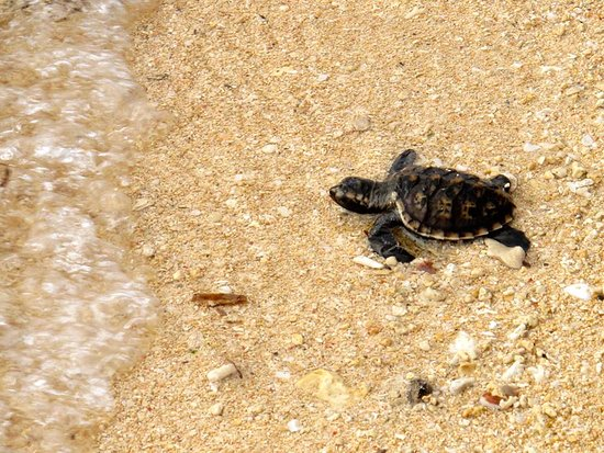 Siladen Island, Endonezya: Baby turtles hatched on our beach