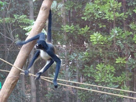 Zoological Park of Centenario ( Parque Zoologico del Centenario) : Singe Araignée