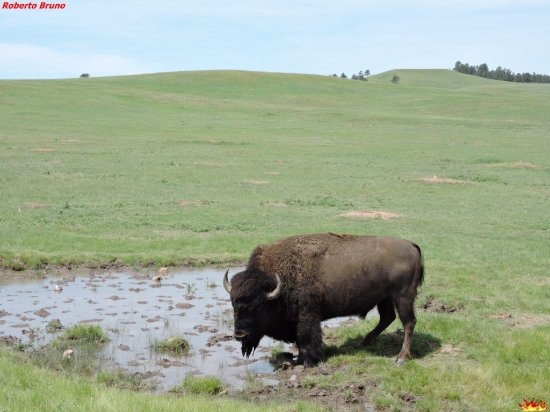 Parque Nacional Wind Cave, Dakota del Sur: Bison bison