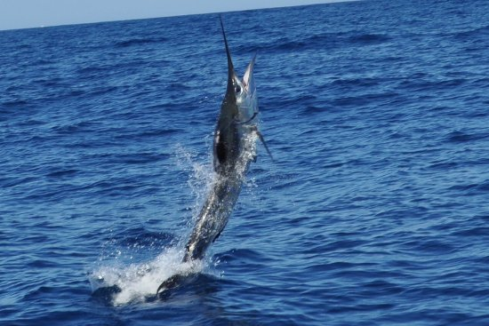 Pisces Sportfishing: Marlin on the move
