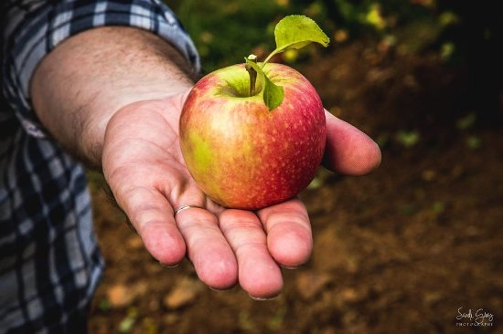 Carter Mountain Orchard: Beautifully shaped apples
