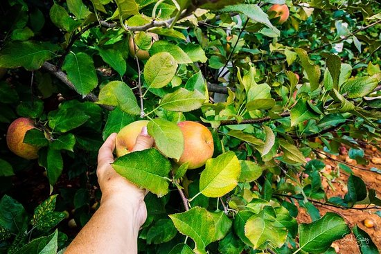 Carter Mountain Orchard: Low pickings for shorties and kids