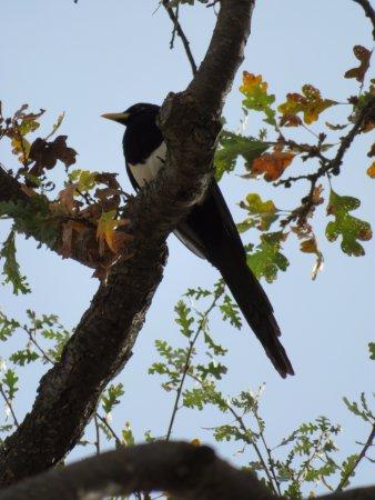 Jolon, Καλιφόρνια: magpie in oak trees at picnic area