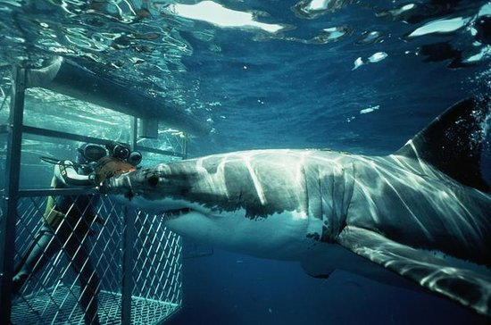 Shark Cage Diving Experience from...