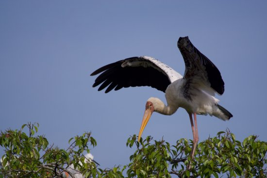 Sungei Buloh Wetland Reserve: A wild ibis I found perched in a tree. There were many more, and it's easy to find them.