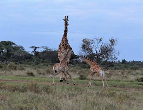 St Lucia, Afrika Selatan: jirafas a la carrera