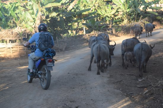 Лашио, Мьянма: Sharing the road with gentle water buffalo!