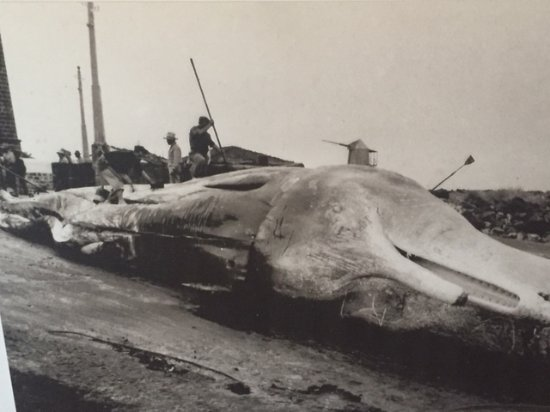 Sao Roque do Pico, Portugal: Black & white photo of whale dissection