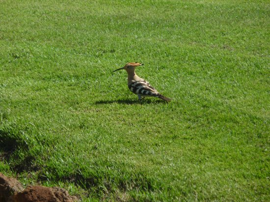 Sheraton Fuerteventura Beach, Golf & Spa Resort: Lovely bird in the hotel garden