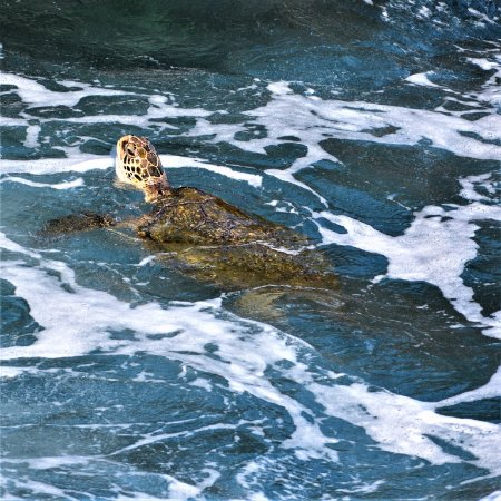 Poipu Shores Resort: This is a great place for seeing green sea turtles