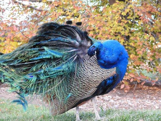 Hamilton, Nueva Jersey: Peacocks roaming the grounds
