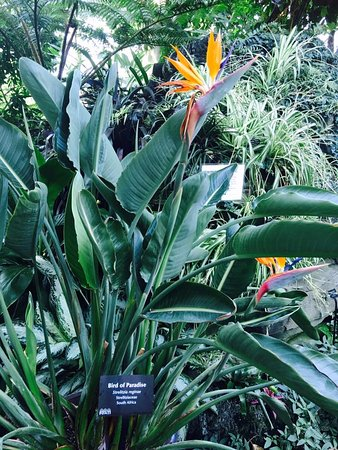 Mitchell Park Horticultural Conservatory (The Domes): Bird of Paradise in the Tropical Dome