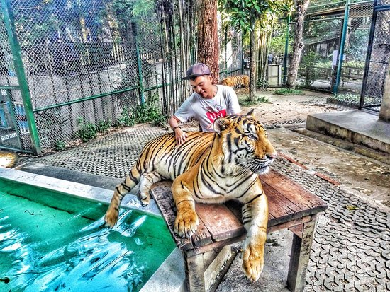 Tiger Kingdom - Chiang Mai Photo