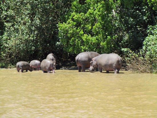 St Lucia, Afrique du Sud : nijlpaarden op de wal