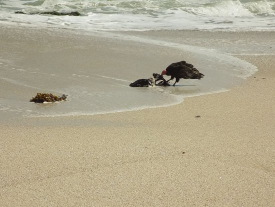 Yumaque Beach: On the Yumaque shoreline: a vulture devouring a dead pelican