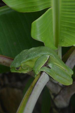 Barrio Florido, Peru: Kambo frog sleeping at the lodge