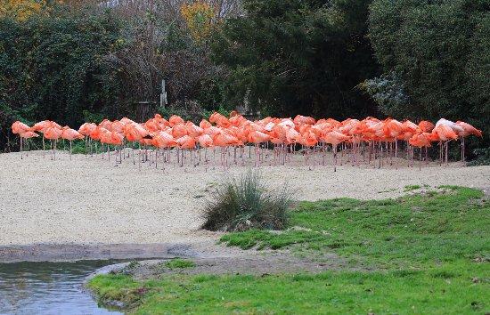 Dursley, UK: Flamingos
