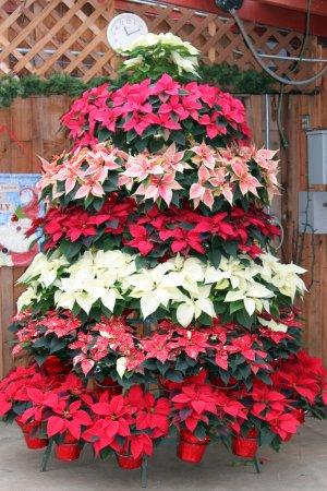 Mossyrock, Ουάσιγκτον: Tree of pointsettias