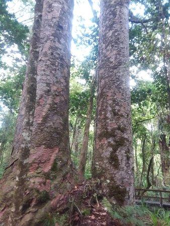 Waipoua Forest 사진