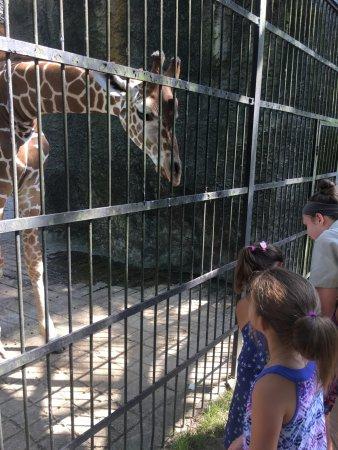 The Jackson Zoo: Baby Giraffe giving kisses
