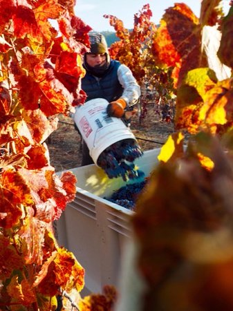 Grants Pass, Oregón: Harvesting by hand at Troon Vineyard