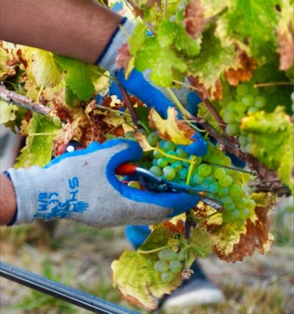 Grants Pass, Oregón: Picking viognier at Troon Vineyard
