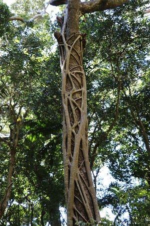 Port Macquarie, Australia: Strangler Fig