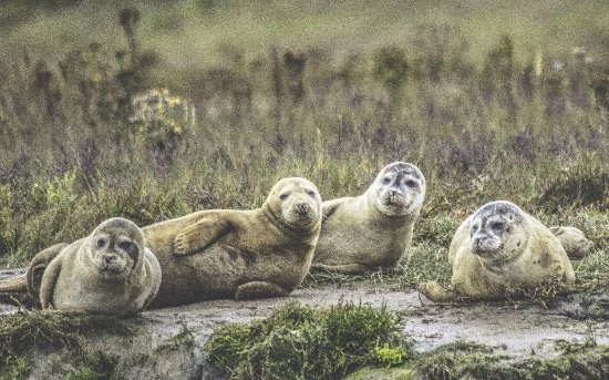 Harwich, UK: Sealwatching trip to hamford water