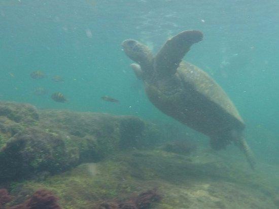 Puerto Villamil, Ecuador: Sea turtle. Photo captured with a GoPro
