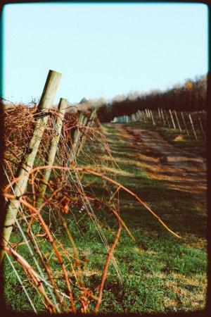 Ellijay, GA: Images of the vineyard