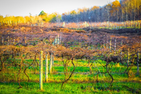 Ellijay, GA: The vineyard at Cartecay