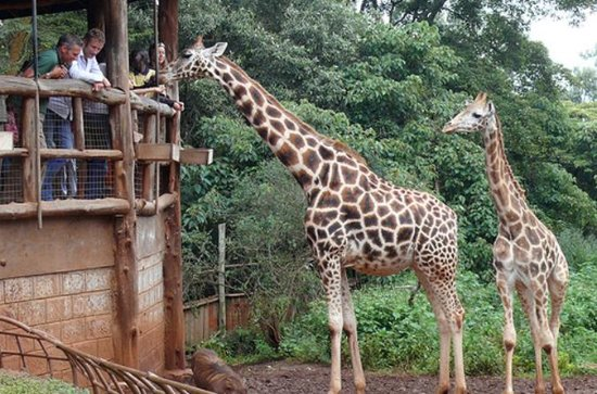 Out of Africa Tour: Giraffe Centre