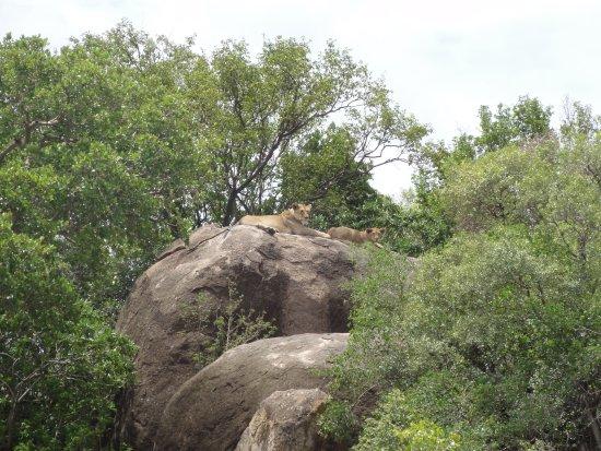 Arusha Region, Tanzania: Lionnes