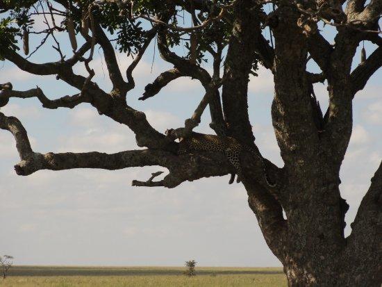 Arusha Region, Tanzania: Leopard