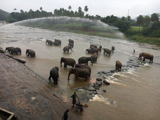 Pinnawala, Sri Lanka: Herd of Elephant bathing in the river
