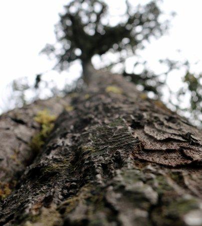Fox Glacier, Nueva Zelanda: Rimu tree