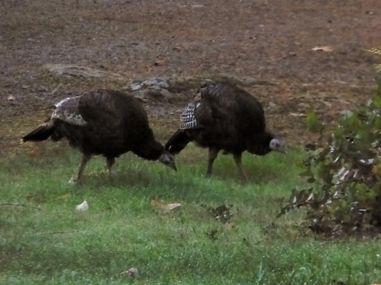 Vida, OR: Resident turkeys