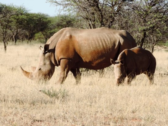 Northern Cape, Afrika Selatan: Rhino grazing peacefully