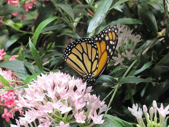Smithsonian Butterfly Habitat Garden: A Monarch On A Penta