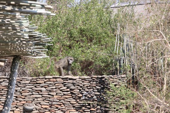 Singita Private Game Reserve, África do Sul: Baboon visiting us while on our room's deck