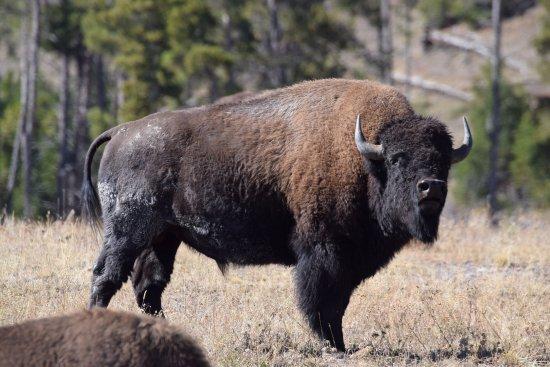 Teton Village, WY: big bison smelling the wind.
